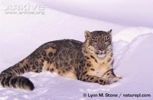 Le léopard et le feu dans LITTERATURE Snow-leopard-lying-in-snow-300x197